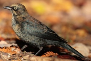 Male rusty blackbird in breeding plumage. Listed as Special Concern in Canada.