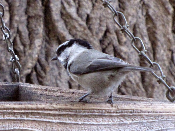 Wednesday Wings: Mountain Chickadee