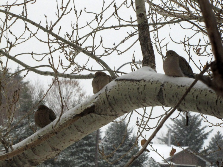 Winter Doves