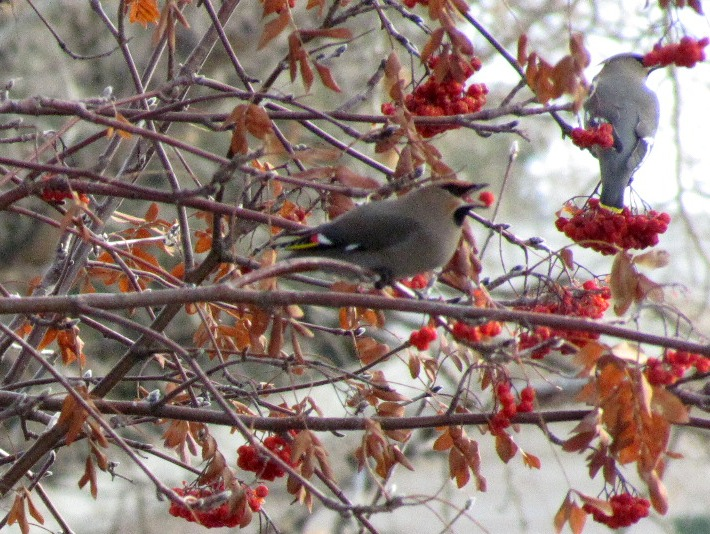 Wednesday Wings: Waxwing Invasion