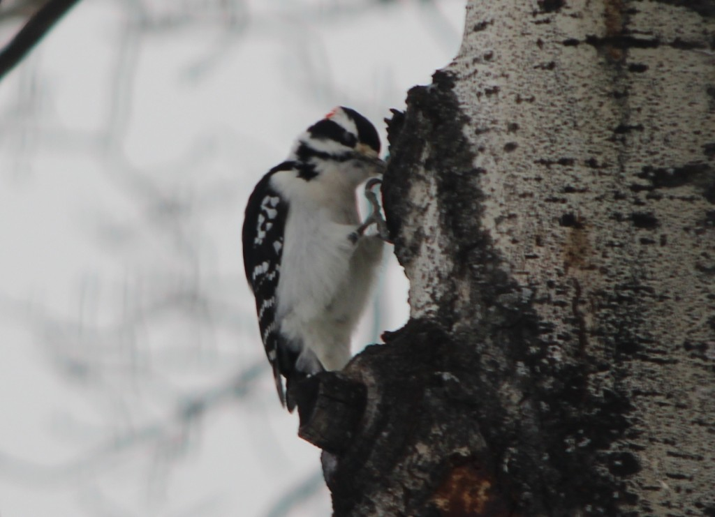 downy woodpecker hanging on