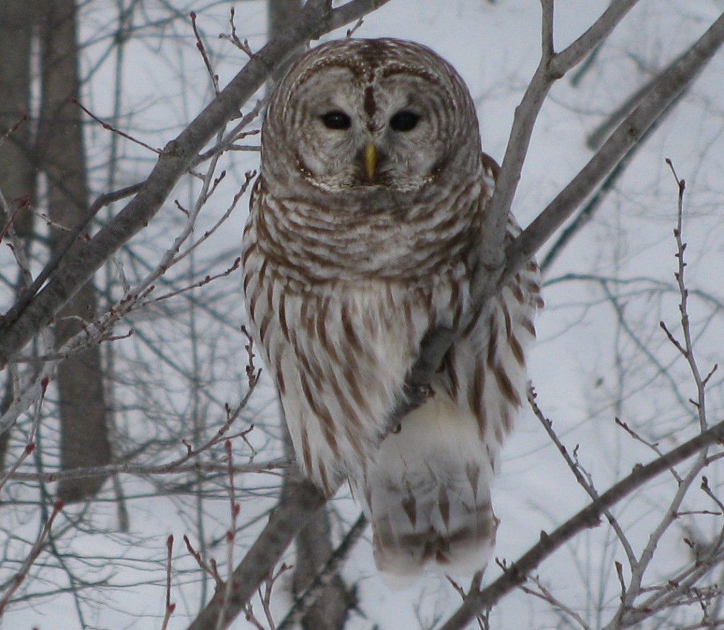 Barred Owl that kind enough to pose quietly while I pulled my car over, rolled down the window, fumbled with the camera, stuck my head out, and finally, take his picture.