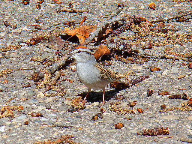 Chipping Sparrow, Fish Creek Provincial Park - Calgary, AB