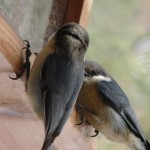 Red Breated Nuthatches