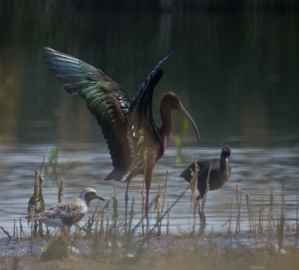 Adult and immature White-faced Ibis - Frank Lake, AB