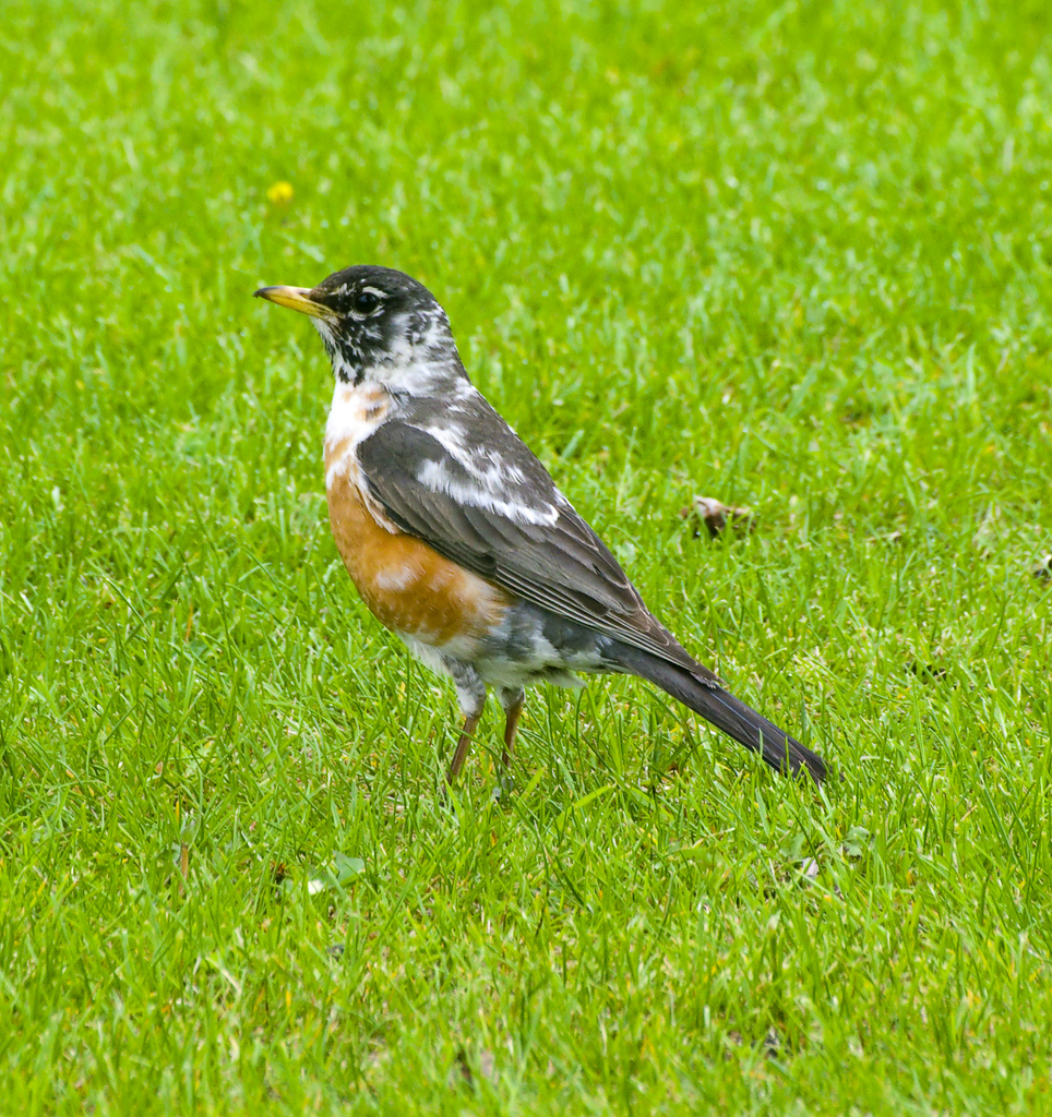 Leucistic American Robin at Inglewood Bird Sanctuary - Calgary, AB