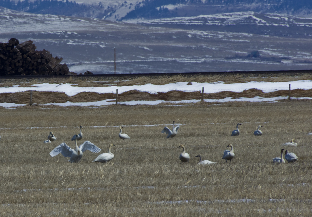 Tundra and Trumpeter Swans - Pincher Creek, AB