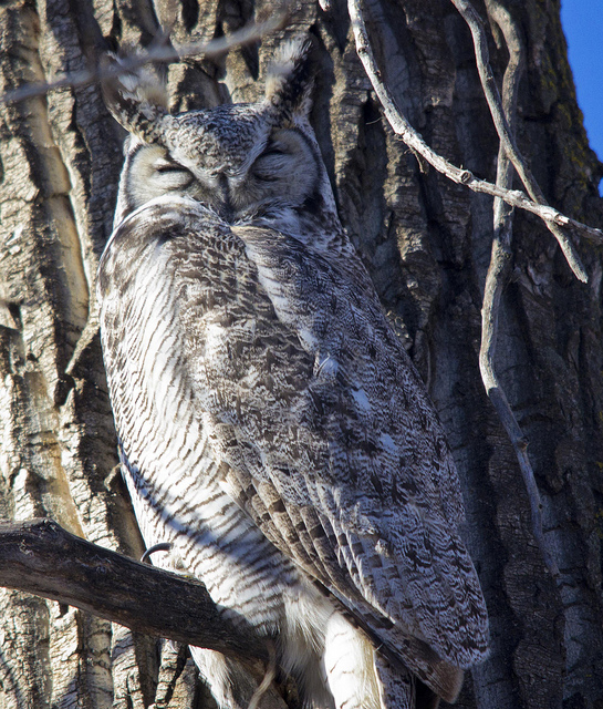 This male Great Horned Owl is on guard, and not really sleeping, I swear.