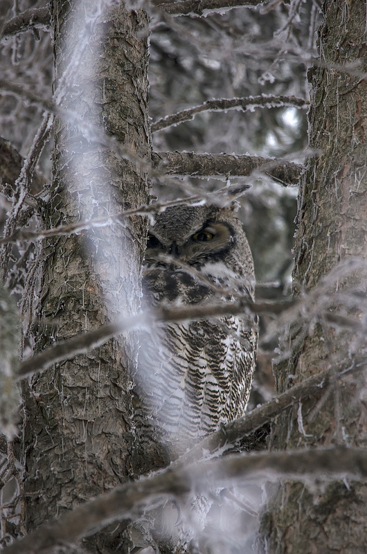 This Great Horned Owl is doing his best impression of a branch.