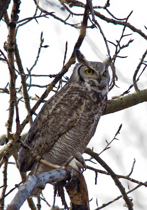 The protective male of the second pair of Great Horned Owls in Fish Creek Provincial Park, just north of Sikome Lake.