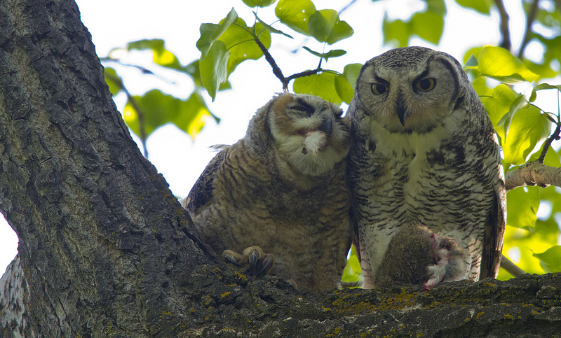 Female Great Horned Owl feeding young in late May, 2012.