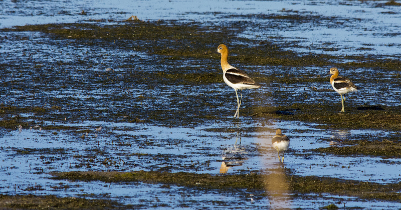 American Avocet with juveniles, 2012