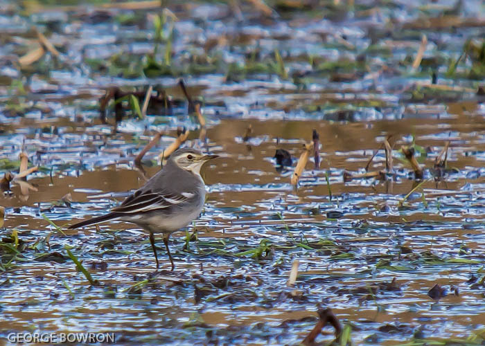 Citrine Wagtail - George Bowron