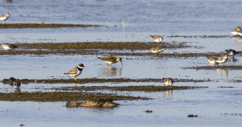 Semipalmated Plover, Langdon Sloughs, August 2012