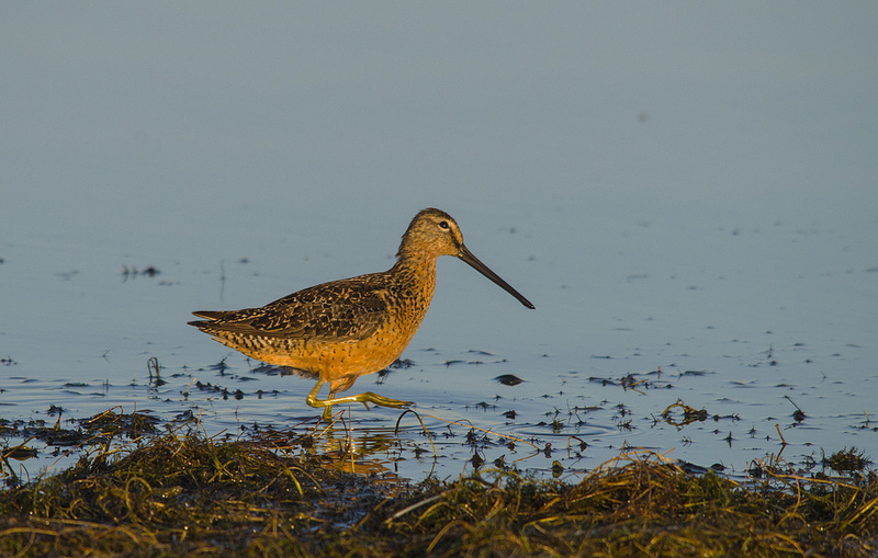 Long-billed Dowitcher - Elk Island National Park, 2012