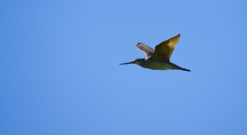 Marbled Godwit in flight - Frank Lake, 2012