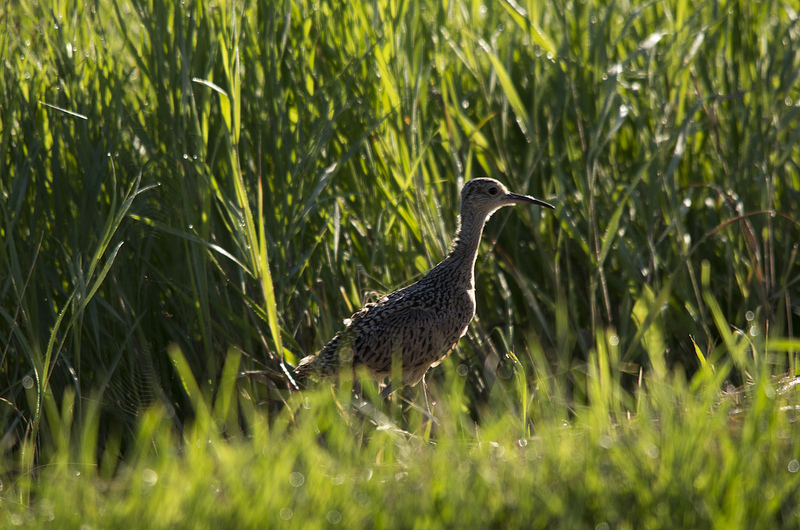 immature Long-billed Curlew - Frank Lake, Alberta, July 2012