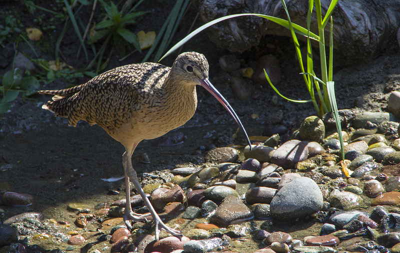 Adult Long-billed Curlew - Seattle Aquarium, 2012