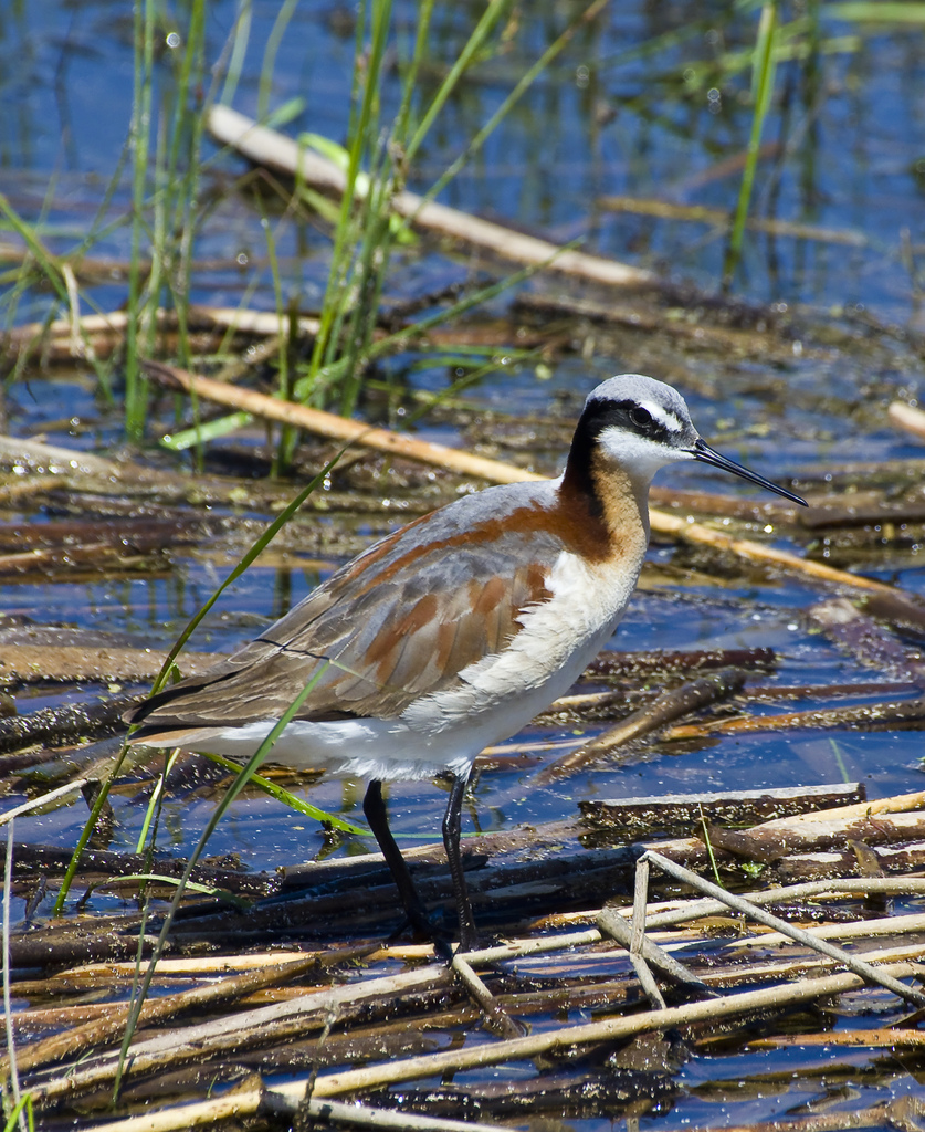 female Wilson's Phalarope - Frank Lake, 2011