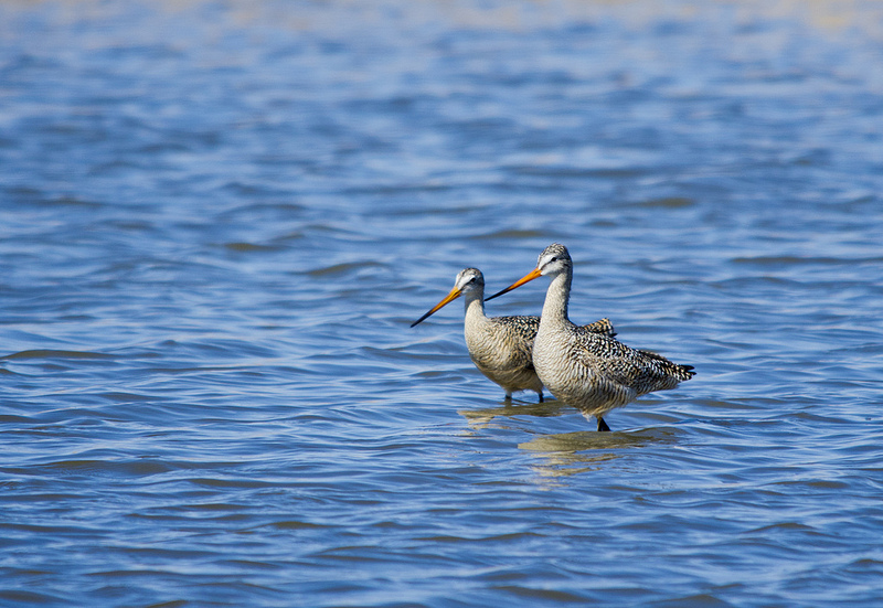 Marbled Godwits feeding - Frank Lake, 2012