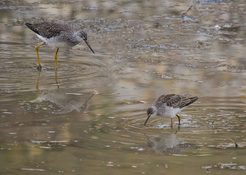 Greater Yellowlegs (left) and  Lesser Yellowlegs (right) - Fish Creek Provincial Park, 2012