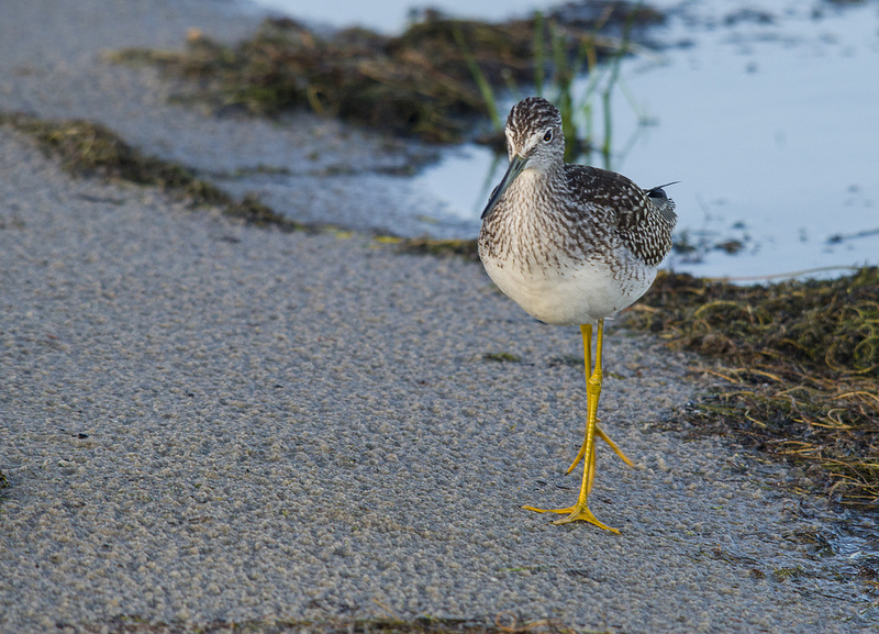 Greater Yellowlegs - Elk Island National Park, 2012