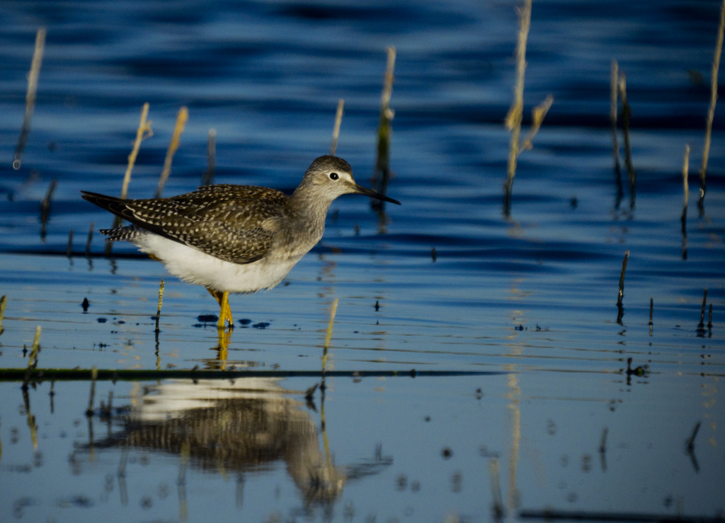 Lesser Yellowlegs - Frank Lake, 2011