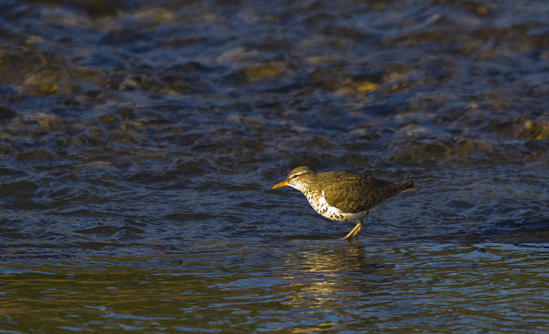 Spotted Sandpiper - Griffith Woods Park, Calgary, 2012
