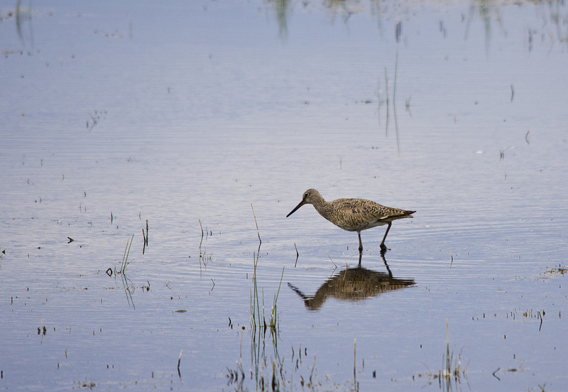 Willet - Shepard Slough, 2012