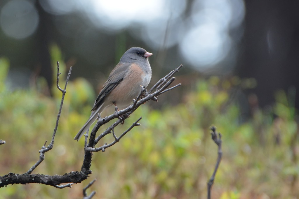 """Pink-sided"" Dark-eyed Junco"