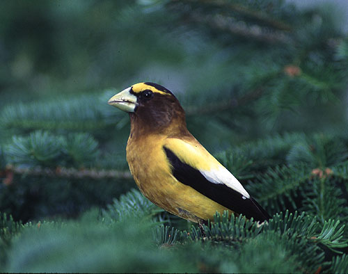 Evening_Grosbeak1_b