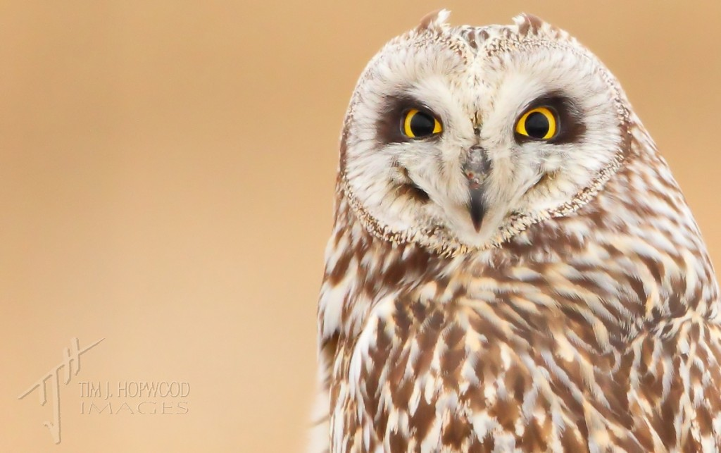 Short-eared Owl - portrait