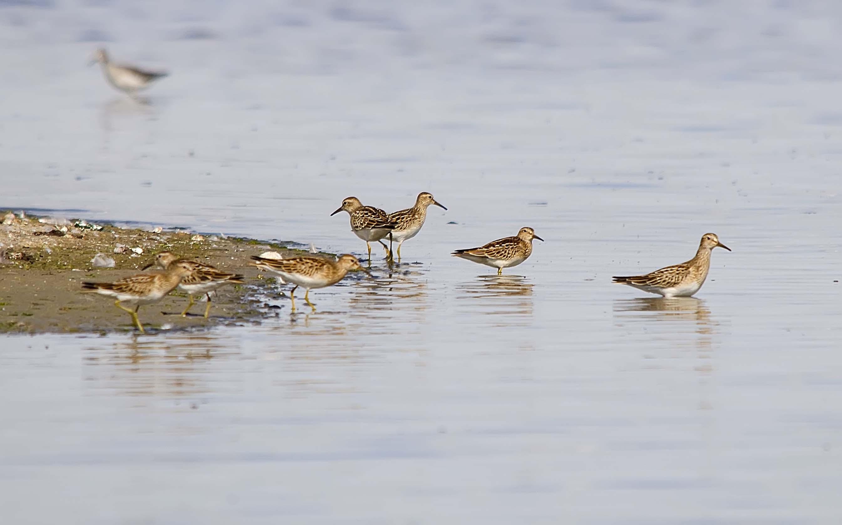 Pectoral and Least Sandpipers - Weed Lake, Alberta, September 2012