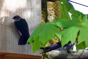 Violet-green Swallows check out nestcam box