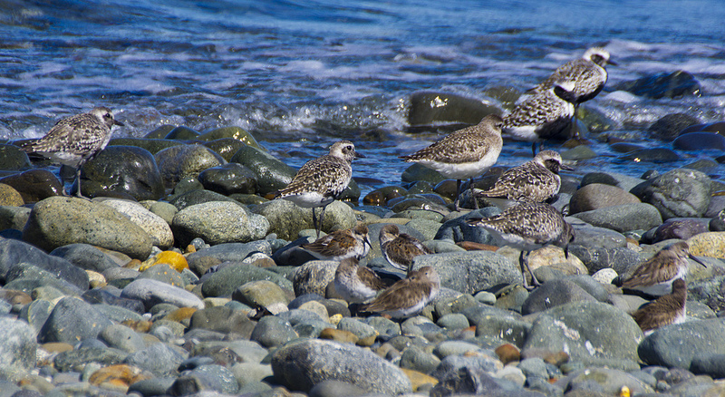 Dunlins in the foreground, Black-bellied Plovers in the background - Comox, BC, 2012