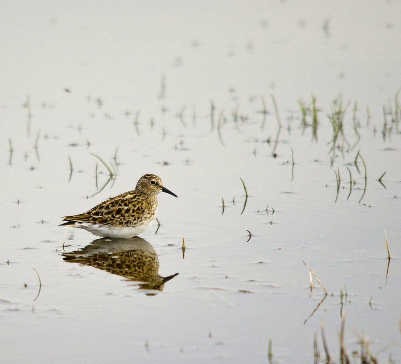 Least Sandpiper - Slack Slough, AB, May 2012