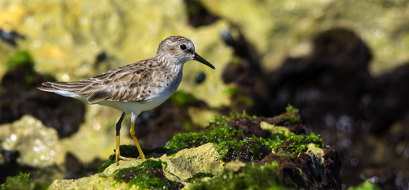 Least Sandpiper - Mexico, January 2013