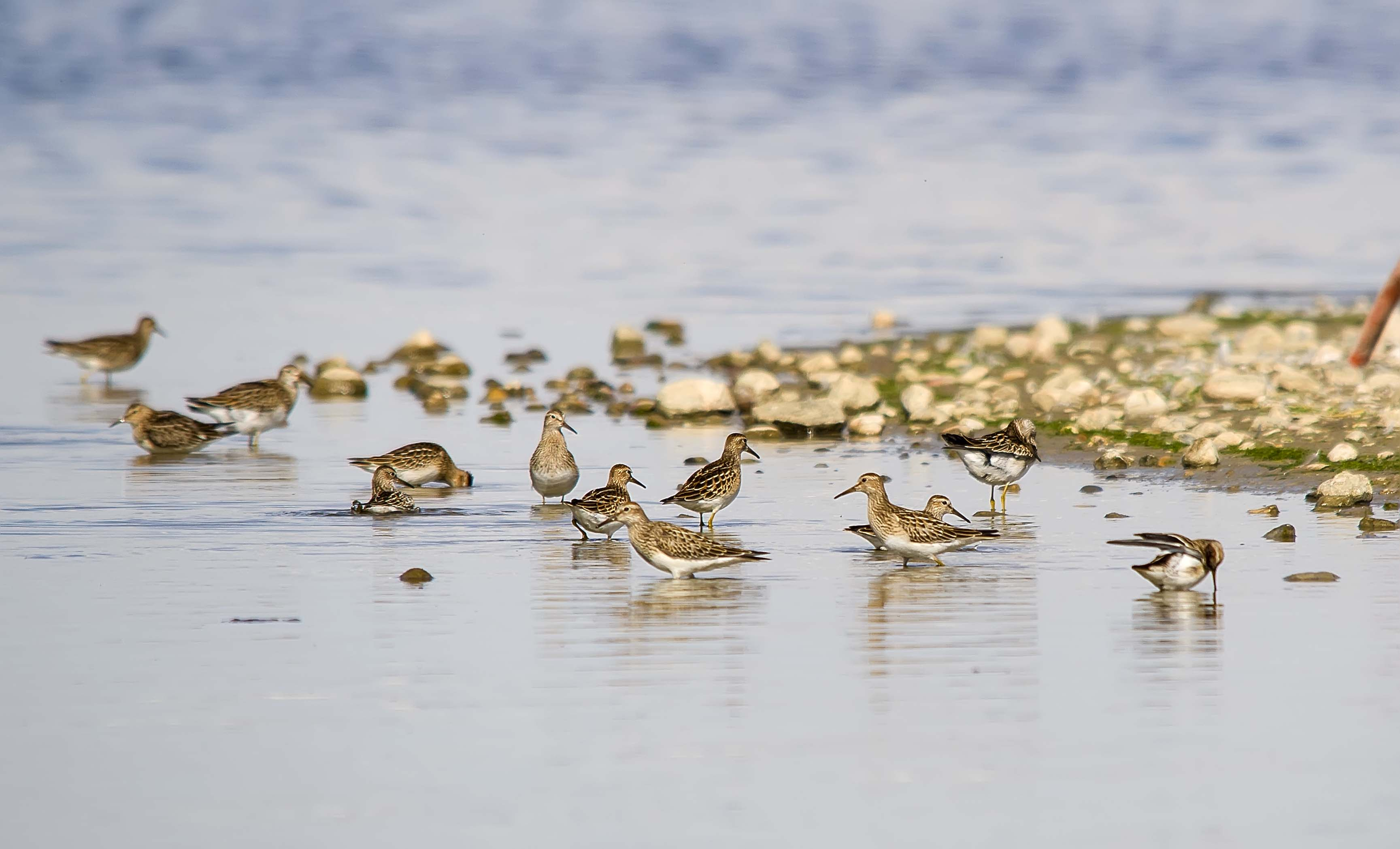 Pectoral Sandpipers - Weed Lake, AB, September 2012
