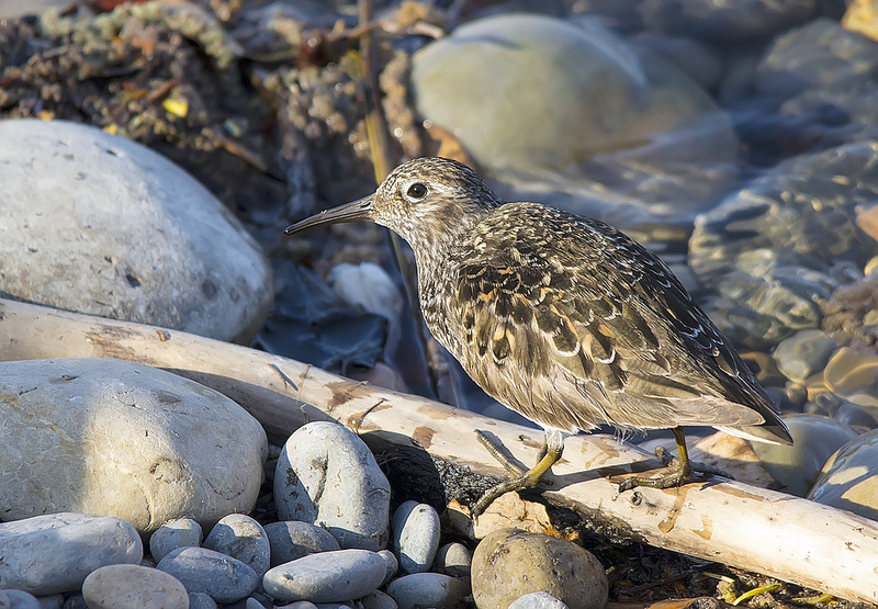 Purple Sandpiper - Inglewood Bird Sanctuary, Calgary, 2013