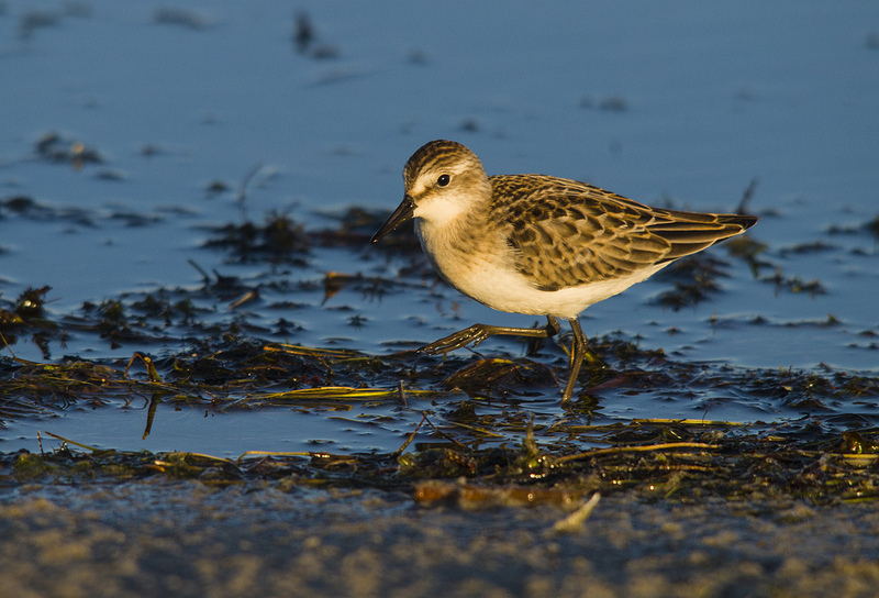 Semipalmated Sandpiper - Elk Island National Park, August 2012