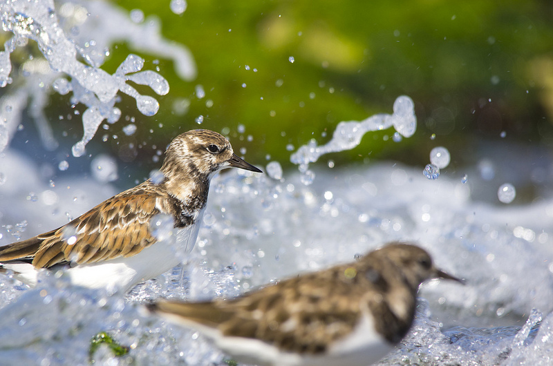 Ruddy Turnstones - Mexico, 2013