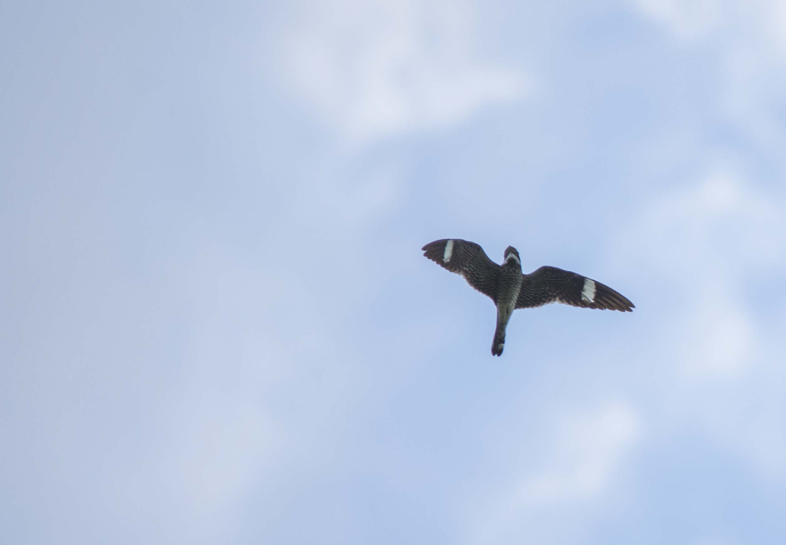 Common Nighthawk giving me a low flyby
