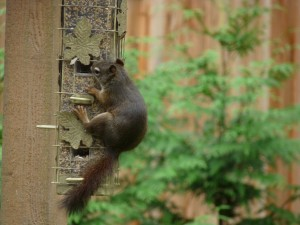 Red Squirrel on squirrel-proof feeder