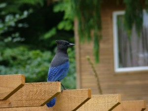 Steller's Jay on watch