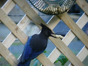 Steller's Jay snatches a peanut