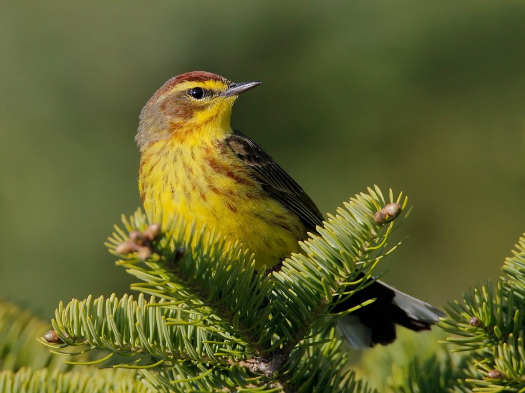 Palm Warbler by Jeff Nadler