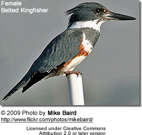 The female Belted Kingfisher is more colourful than the male. Note the rufous belly stripe.