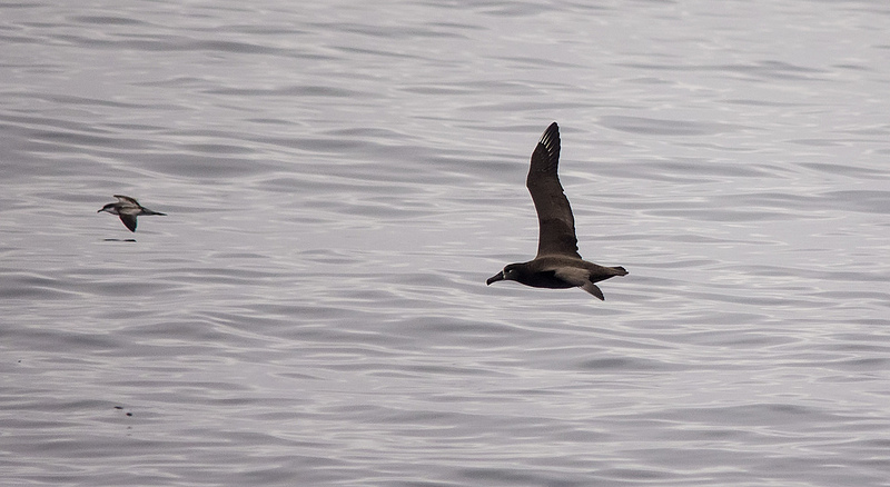 Black-footed Albatross and Buller's Shearwater