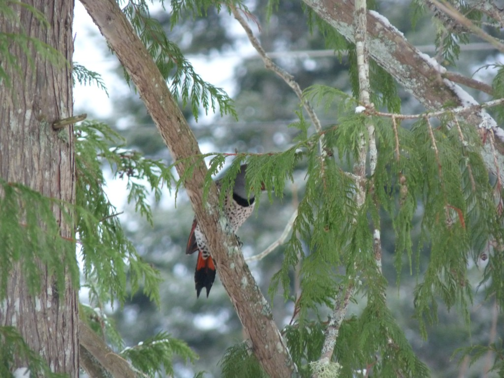 "Who's hiding behind that branch? See the red tail shaft - it's a ""red-shafted"" Northern Flicker""!"