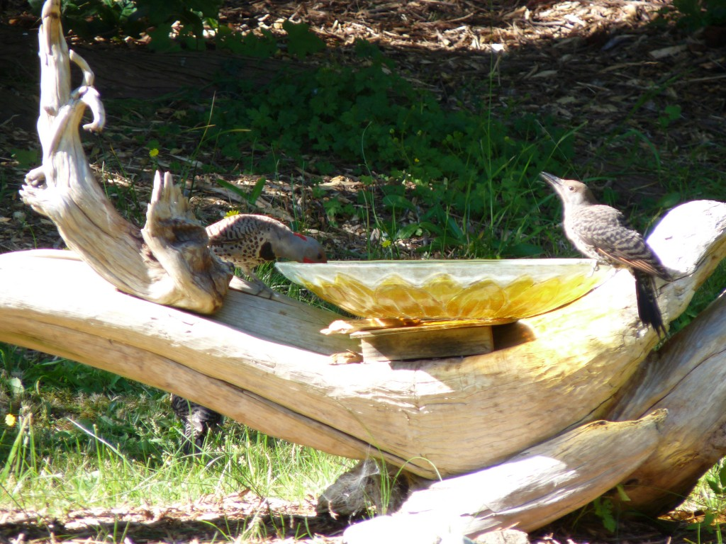 Our family of flickers. Note the mother under the birdbath log. Dad and juvenile are drinking.